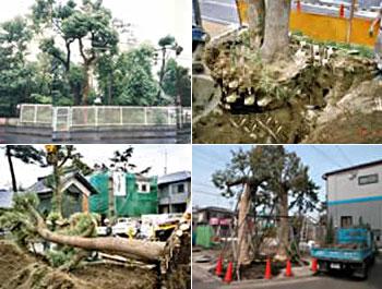 大木の移植 施工事例
