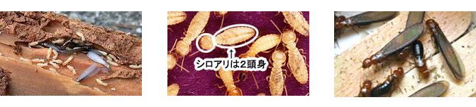 シロアリの見分け方 シロアリは2頭身
