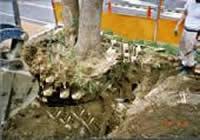 大木の移植作業工程